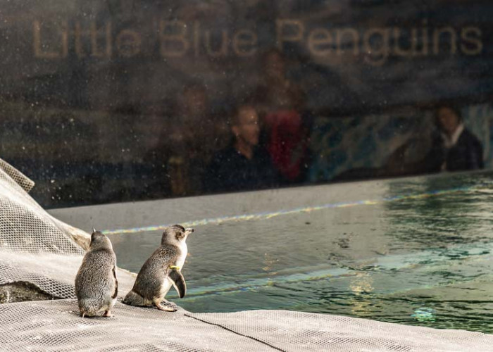 Pinguine im Antarctic Center Christchurch