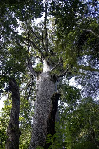 Kauri-Bäume