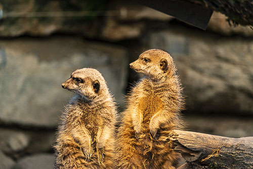 Sequenz Erdmännchen im Zoo Frankfurt