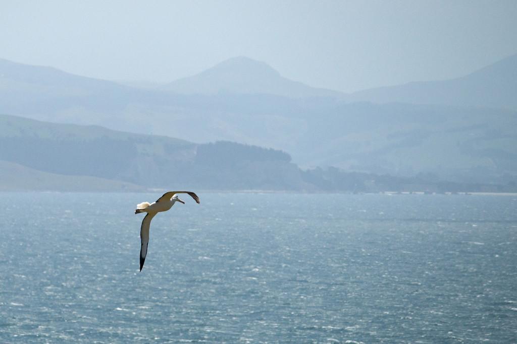Albatrosse Neuseeland