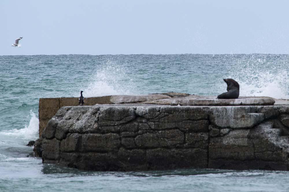 Seehunde am Hafen von Oamaru Neuseeland