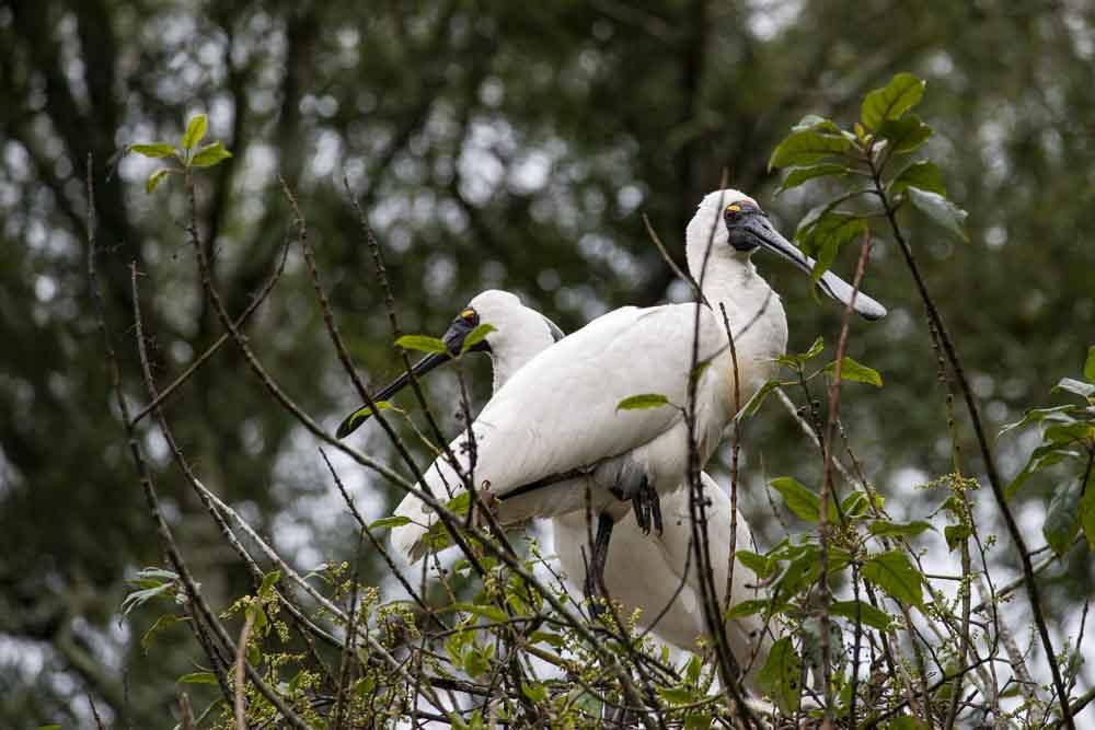 Westcoast Neuseeland: Royal Spoonbills