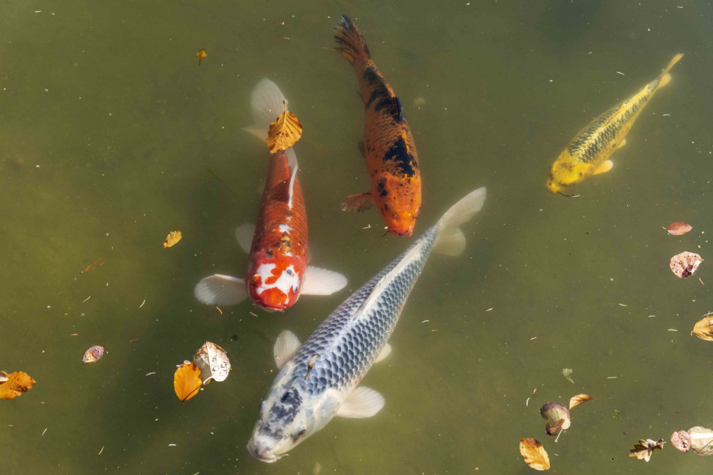 hungrige Fische im Rheinauensee